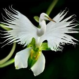 Egrow 200pcs Japanese Egret Flowers Seeds White Egret Orchid Seeds Radiata Rare White Orchid