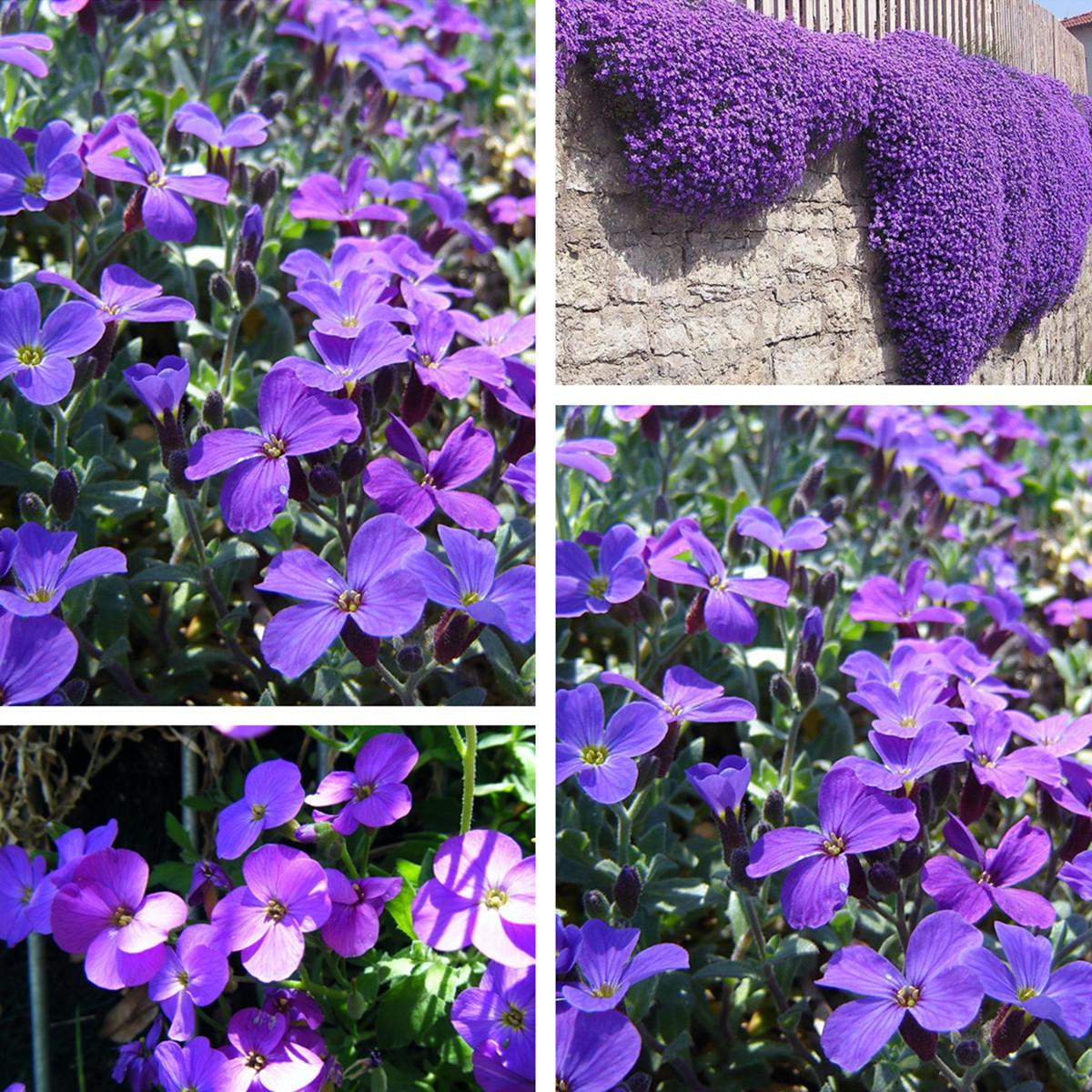 Egrow 125Pcs/Pack Garden Aubrieta Deltoidea Purple Flower Seeds Perennial Herb Plants