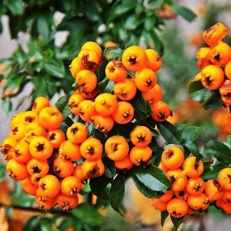 Egrow 100Pcs/Bag Pyracantha Seeds Fruit Seeds Yellow Pyracantha Fortuneana Firethorn Perennial Tree Bonsai Seeds Ornamental for Home Garden Plants